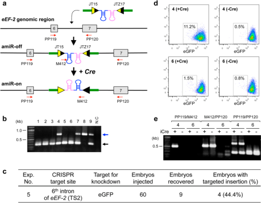Targeted insertion of ssDNA encoding Cre-activatable anti-eGFP amiRNA by CRISPR/Cas9 system (Exp. 5).(a) Schematics of targeted integration of reverse orientated 'amiR-eGFP123/419' and mutant loxP sites (JT15 and JTZ17) into the intron 6 of eEF-2 gene and subsequent Cre-loxP recombination to switch the amiRNA cassette to the right orientation. Functional amiRNAs do not get produced from the targeted 'amiRNA-off' allele because of the opposite orientation of amiRNA with respect to the eEF-2 gene. After Cre recombination, the allele gets converted to 'amiRNA-on' that produces functional amiRNA. Red arrows indicate the primers (PP119, PP120 and M412) used for genotyping. (b) Genotyping of fetuses by PCR using primer set (PP119/PP120). Expected fragment sizes: wild-type = 301-bp (black arrow), targeted insertion = 705-bp (blue arrow). (c) Targeted insertion efficiency. (d) Dotplot of embryonic feeder cells, derived from Exp. 5 samples #4 (upper) and #6 (lower), nine days after transfection with (left) or without (right) the iCre plasmid. The cells showing weak eGFP fluorescence are partitioned within the box in each plot. (e) Genotyping of embryonic feeder cells used in the experiment (d) by PCR with primer sets shown in (a).