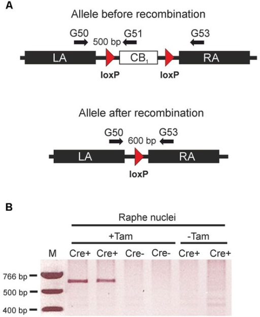 Tamoxifen-inducible genetic inactivation of cannabinoid type 1 (CB1) receptor in TPH2-positive neurons. (A) Schematic illustrations of CB1fl/fl allele before (above) and after Cre recombinase-mediated recombination (below). Arrows indicate primer positions. (B) Applying primers G50/G53, polymerase chain reaction (PCR) reactions were run using genomic DNA from the raphe nuclei region as a template. The 600 bp band indicating successful recombination was only detected in mice containing the CreERT2 transgene. (Cre+) after treatment with tamoxifen (+Tam). LA, left homology arm; RA, right homology arm; Cre+, animals heterozygous for the CreERT2 transgene and homozygous for the CB1fl/fl allele. Cre- = CB1fl/fl mice without the CreERT2 transgene; +Tam, tamoxifen-treated; −Tam, vehicle-treated; M, DNA size marker.