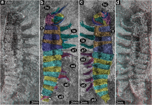 The external body structure of Srokalarva berthei. a and b are the part of specimen MCP-322; (c) and (d) are the counterpart to MCP-322, representing approximate mirror images of each other. a and d, Red–cyan stereo anaglyphs imaged under cross-polarized light. (For best visual results, use red–cyan glasses for viewing.) (b) and (c), Interpretative versions of (a) and (d), respectively. Colors delimit regions of the head, tergites, thoracic membranous regions, and appendages such as mouthparts, thoracic legs and abdominal prolegs. Arrows indicate abbreviated appendages on abdominal segment 9. Note that the proximal regions of the appendages are concealed under the body, and are not clearly marked. Abbreviations: aa, abdominal appendages; a1–a9, abdominal segments 1 to 9; hc, head capsule; ta, thoracic appendages; tt, trunk tergites