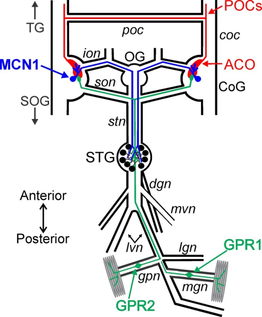 Schematic of the isolated STNS including the projection neuron MCN1, the sensory neurons GPR1/2, and the POC neurons.There is a single MCN1 (blue) cell body in each CoG that projects to the STG. The POC neurons (red) originate outside of the STNS and enter the CoG to terminate as a neuroendocrine organ, the ACO. The somata of the two bilateral pairs of GPR neurons (green) occur in peripheral nerves. These bipolar neurons terminate in muscles and project anteriorly to the STG and continue into the CoGs. Abbreviations: Ganglia- CoG, commissural ganglion; OG, oesophageal ganglion; SOG, supraoesophageal ganglion; STG, stomatogastric ganglion; TG, thoracic ganglion. Neurons- GPR, gastropyloric receptor neuron; MCN1, modulatory commissural neuron 1; POC, post-oesophageal commissure neurons. Nerves: coc, circumoesophageal connective; dgn, dorsal gastric nerve; gpn, gastropyloric nerve; ion, inferior oesophageal nerve; lgn, lateral gastric nerve; lvn, lateral ventricular nerve; mgn, medial gastric nerve; mvn, medial ventricular nerve; poc, post-oesophageal commissure; son, superior oesophageal nerve; stn, stomatogastric nerve. Other: ACO, anterior commissural organ.