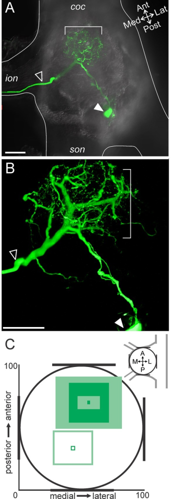MCN1 neurites arborize in the anterior CoG.(A) A single optical slice includes a portion of MCN1 (intracellular fill with Alexa 568; green) and DIC optics to view the outline of the tissue. The MCN1 neurites are located in the anterior region of the CoG (bracket), while in this example, the soma is located more posteriorly (filled arrow) and the axon leaves the CoG through the ion (open arrow). (B) A higher magnification volume rendering of a z-stack (249 optical slices, 1.0 μm interval) of the MCN1 fill from (A) reveals the full extent of the MCN1 arborization within the anterior CoG. Arrows as in (A). (C) Average location of the MCN1 soma (open square) and MCN1 neurites (filled squares) in the x-y plane of the CoG are plotted. The soma was located in the posterior CoG while the neurites were in the anterior region. The neurite location is reported as the average (dark filled center box) and standard deviation (lighter center box) of the center of the arborization and the average (dark filled outer box) and standard deviation (lighter outer box) of the spread of the arborization as measured vertically and horizontally from center across preparations. Scale bars: 100 μm. coc, circumoesophageal connective; ion, inferior oesophageal nerve; son, superior oesophageal nerve.