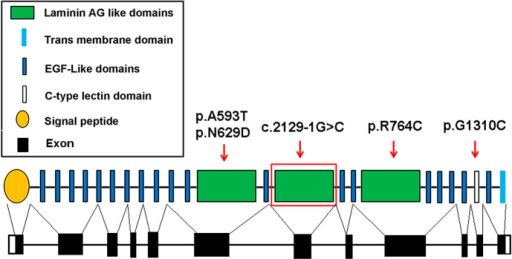 Schematic representation of the crumbs homolog 1 gene structure.The red arrow indicated the mutations reported in our study. The homozygous splicing mutation c.2129-1G>C in the CRB1 gene damaged the second laminin AG-like domain which located in the exon 7; The reported mutation p.R764C located in the exon 9 and damaged the third laminin AG-like domain; The mutation of p.G1310C located in the exon 11 and affected the function of the C-type lectin domain. The compound heterozygous mutation p.N629D and p.A593T both located in the exon 6 and affected the function of the first laminin AG-like domain.