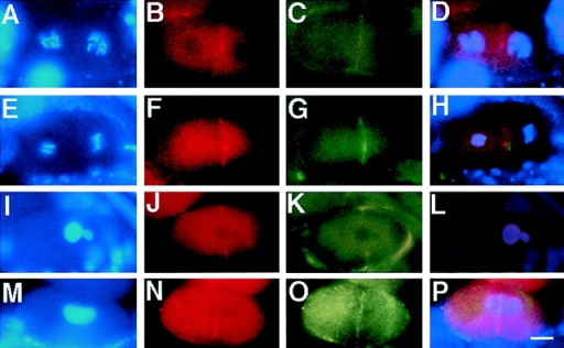 The cleavage furrow is unstable in air-2  (RNAi) embryos. Wild-type and air-2(RNAi)  embryos were dissected from adult hermaphrodites, fixed, and then stained with DAPI (A, E, I,  and M), NMY-2 (B, F, J, and N), actin (C, G, and  K), and α-tubulin antibodies (O). Merged images  are shown in D, H, L, and P. (A–D) A wild-type  two-cell embryo in prophase. (B) NMY-2 is  faintly seen on the cell membrane and at the cytokinesis remnant. (C) Actin is apparent at the  cell membrane. (D) Both proteins overlap at the  cell membrane. (E–H) A wild-type two-cell embryo where the AB cell (left) is in anaphase and  the P1 (right) is in metaphase. (F) NMY-2 and  (G) actin colocalize at the cell membrane (H).  (I–L) An air-2(RNAi) embryo undergoing the  first cell cycle. (J) NMY-2 and (K) actin colocalize to an incomplete cleavage furrow (L). (M–P)  An air-2(RNAi) embryo undergoing the first cell  cycle. A transient cleavage furrow bisecting the  cell is apparent by (N) NMY-2 and (O) α-tubulin  staining that overlaps (P). Bar, 10 μm.
