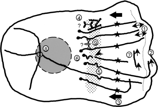 Model of MT arrangement and turnover in the lamella  and lamellipodia of migrating newt lung epithelial cells. Thick  lines represent MTs; dotted lines, the border between the lamella  and lamellipodia; thin arrows, MT growth or shortening; arrowheads, sites of MT breakage; thick arrows, the direction of retrograde flow; dotted area, the putative zone of MT breakage at the  base of the lamella; and circles, the centrosome. The numbers in  the diagram refer to findings and hypotheses from this study. The  cell is migrating to the right. 1, MTs in the lamella oriented perpendicular to the leading edge extend to the base of the lamellipodia, exhibit frequent and short dynamic instability, and show  little net change in length. 2, Parallel MTs within the lamellipodia  undergo catastrophe less often and exhibit net growth. 3, Parallel  MTs and photoactivated marks on perpendicular MTs in the  lamella (stars) move continuously towards the cell center at ∼0.4  μm/min. 4, F-actin (beaded lines) crosslinked to MTs is postulated  to be moved rearward by myosin, which is bound to an unknown  stationary structure (question mark) in the lamella. 5, MT breakage occurring at sites of local MT buckling. 6, Free minus ends  formed by breakage are specifically capped (asterisks). 7, Treadmilling of MTs by net plus end growth and net minus end shortening. 8, <25% of all MTs in the cell are bound at their minus  ends to the centrosome. 9, Cytoplasmic dynein bound to a membranous organelle (question mark) or other MT crosslinking  proteins, are proposed to organize noncentrosomal MTs in the  lamella.