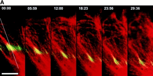 Rearward movement of the lattice of perpendicular MTs in the lamella.  (A) Digitally overlaid and  pseudocolored micrographs  of a cell that was injected  with a mixture of X-rhodamine (red)- and caged fluorescein (yellow–green)-labeled  tubulins (captured at 3-min  intervals within 1.5 s of each  other). The cell was exposed  to a 2.5-μm-wide bar of UV  light to activate the fluorescein label just before the first  image. Elapsed time (in min/ sec) is in the upper left of  each panel. (B) Plots of relative fluorescence intensity  (after background subtraction) versus position along the white line in A. Fluorescence loss due to  photobleaching of C2CF during the total exposure time is <5% under similar conditions (not shown). The green lines represent intensity of uncaged  fluorescein, and the red lines represent intensity of X-rhodamine. Time at  which the scan was taken is denoted by the thickness of the plotted line.  The position of the fluorescein-labeled subunits in the primarily perpendicular MTs moves rearward through the lamella over time (A, white arrowheads in B over the green scanlines mark the peak fluorescein intensity),  while the level of the X-rhodamine–labeled MT polymer remains relatively  constant across the lamella over time (red scan lines in B). Loss in intensity  of the fluorescein signal over time is due to depolymerization of MTs  through the marked region and photobleaching. Note that the fluorescein-labeled subunits move rearward as a relatively coherent bar (A), and the  width of the bar increases very little over time (B). Bar, 10 μm.
