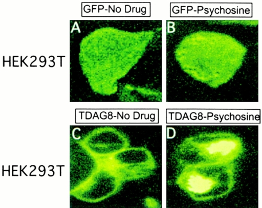 Internalization of TDAG8-GFP fusion protein in response to PSY treatment. (A and B) HEK293T cells expressing GFP fusion protein alone. (C and D) HEK293T cells expressing TDAG8/GFP fusion protein. The cells depicted in A and C were untreated, and the cells in B and D were treated with 10 μM PSY for 2 h at 37°C.