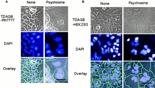 Inhibition of cytokinesis by PSY. TDAG8-RH7777 (A) or TDAG8-HEK293 (B) cells were stained with DAPI (middle). Green lines on overlays indicate boundaries of single cells. (C) Representative FACS® data from HEK293 cells (top) or HEK293 cells expressing TDAG8 (bottom) treated either with 10 μM PSY (C-2 and C-4) or vehicle (C-1 and C-3). Cell cultures were treated for 6 d.