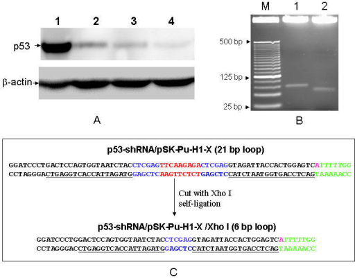 Fig. 3                  Suppression of p53 by p53-shRNA. A: Detection of p53 expression by Western blot. Plasmid carrying an appropriate DNA fragment was introduced into MCF-7 cells. Proteins samples were prepared as described in Materials and Methods. Lanes 1, vector control; 2, p53-shRNA/pSK-H1-Pu-X; 3, p53-shRNA-p (positive control) and 4, p53-shRNA/pSK-H1-Pu-X/Xho I. ?-actin serves as a loading control. B: Removal of siRNA-loop-1 in p53-shRNA. Both constructs were digested with BamH I and Kpn I. M, 25 bp DNA ladders; lanes 1, p53-shRNA/pSK-H1-Pu-X; 2, p53-shRNA/pSK-H1-Pu-X/Xho I. C: Sequence comparison of p53-shRNA/pSK-H1-Pu-X and p53-shRNA/pSK-H1-Pu-X/Xho I. The p53 specific sequence is underlined.
