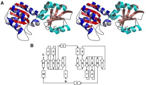 The crystal structure of ybgI from E. coli. (A) Stereo view of the secondary structure cartoon showing the fold of the polypeptide chain. Domain 1 is shown with helices in blue and ß-strands in red and domain 2 is shown with helices in cyan and ß-strands in rose. The strands and helices are numbered sequentially from the N-terminus. This figure was prepared using MOLSCRIPT [31] and Raster3D [32,33]. (B) Topology diagram of the secondary structure. Helicies are represented as rectangles and ß-strands are represented as arrows.