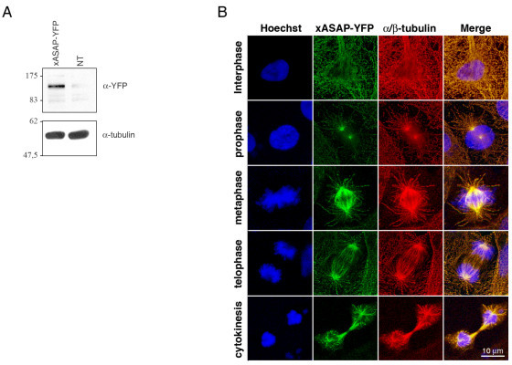 Characterization of Xenopus ASAP. Asynchronous XL2 cells were transfected with the EYFP-X-ASAP cDNA and analyzed (A) by immunoblot using an anti-GFP antibody or (B) by immunofluorescence. Cells were fixed in PAF/MTSB and co-stained with the anti α-tubulin (red) and Hoechst 33258 (blue).