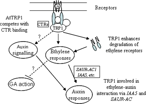 A model of AtTRP1 action. AtTRP1 functions as a positive regulator to modulate ethylene signalling possibly through its interaction with one or more ethylene receptors the ethylene receptors. The exact mechanisms of AtTRP1 function remain to be elucidated, but it may compete with CTR1 for receptor binding, leading to increased ethylene responses; or it may function as an adaptor to bring a receptor for degradation. Increased ethylene responses caused by constitutive overexpression of AtTRP1 led to cross-talk with auxin via SAUR-AC1 and IAA5 at least, and possible also with GA signalling. AtTRP1 may directly interact with auxin signalling components as well.