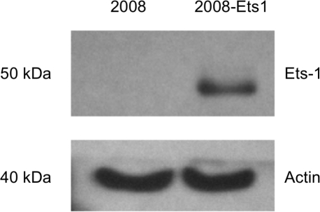 Generation of an ovarian cancer cell model for Ets-1 expression.2008 ovarian cancer cells were stably transfected to over-express Ets-1 in a tetracycline inducible system. Protein expression of 2008 and 2008-Ets1 cells was measured via Western blot following induction with tetracycline (n = 3).