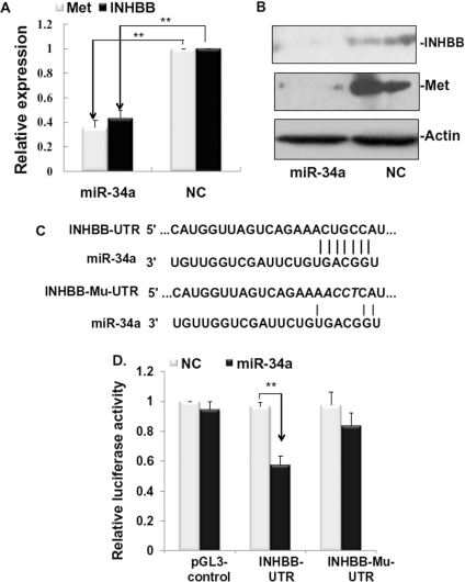Analyses of candidate target genes of miR-34a.(A) miR-34a decreased mRNA expression of inhibin beta B (INHBB) and Met by qRT-PCR. (B) miR-34a decreased protein expression of INHBB and Met by westernblot analysis. Actin was used as sample control. (C) miR-34a-binding site in the 3′-UTR (top) and mutated sites in 3′-UTR (bottom) of INHBB constructed in a luciferase system. (D) The 3′-UTR of INHBB mediates INHBB repression. BRL-3A cells were co-transfected with a luciferase reporter vector containing the 3′-UTR or mutated sequence of INHBB and miR-34a mimics (miR-34a) or negative control (NC). pGL3-control vector was used as control. **P<0.01 vs NC.