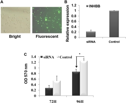 INHBB downregulation repressed hepatocyte proliferation.(A) Fluorescence (right) and bright light (left) photomicrographs of FAM-positive cells transfected by FAM-siRNA. Pictures were taken 6 h after transfection. (B) Identification of INHBB knockdown efficiency by siRNA via qRT-PCR. Actin was used as fold control. (C) INHBB silencing led to growth inhibition in BRL-3A cells by MTT cell proliferation analysis. (siRNA: INHBB siRNA; Control: control siRNA) *P<0.05 compared to control.