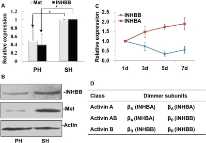 Expression of INHBB and Met in regenerating livers.(A) mRNA expression of INHBB and Met in regenerating liver at 5 d after resection by qRT-PCR. (B) Protein expression of INHBB and Met in regenerating liver at 5 d by westernblot analysis. Actin was used as sample control. (C) Expressive patterns of INHBB and INHBA mRNA in the regenerating liver after PHx by qRT-PCR. (D) The activin protein complexes are composed of inhibin beta A (INHBA) and inhibin beta B (INHBB) subunits.