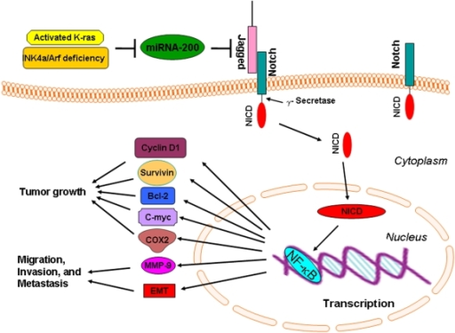 The schematic representation of our proposed molecular mechanism involved in the development and progression of tumors in the compound KCI transgenic mice.