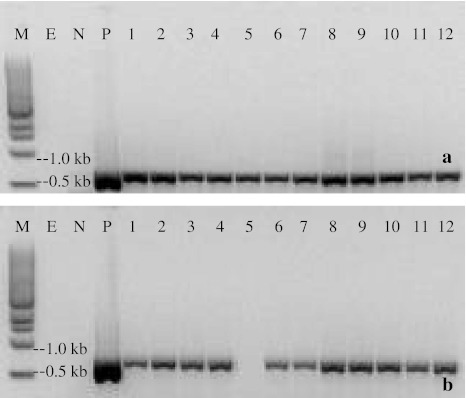 PCR detection of transgenes in putative transgenic sorghum lines. a PCR for the nptII gene and b PCR for the gfp gene. Lines from left to right: M 1 kb DNA Ladder (NEW ENGLAND BioLabs). E empty (no template), N non-transgenic Tx430, P plasmid, 1–12 12 samples of putative transgenic lines