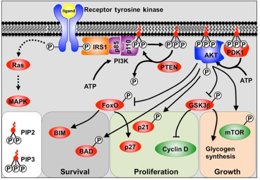A model depicting PI3K signaling. Binding of the receptor tyrosine kinase ligand activates receptor auto-phosphorylation, leading to recruitment of substrate proteins such as IRS-1. This leads to recruitment of the regulatory (p85) and catalytic (p110) subunits of class 1a PI3K. PI3K phosphorylation of PIP2 to PIP3 allows PIP3 to act as a secondary messenger within the inner surface of the cell membrane. AKT and PDK1 bind to PIP3, and PDK1 and mTOR/Rictor activate AKT via phosphorylation. Active AKT is then able to promote cell survival, growth, and proliferation by phosphorylation of key substrates. Also shown is the alternative Ras pathway which can also be stimulated by receptor tyrosine kinases to activate MAPKs.