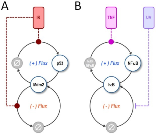 A paired positive (+) and negative (−) flux motif controls stimulus-sensitivity in the p53 and NFkB stress response pathways.(A) For p53, the (+) flux is formed by the synthesis and degradation of p53 itself. The (−) flux is formed by synthesis and degradation of Mdm2. Together these fluxes control the sensitivity of p53 to IR-stimulation, which acts by inducing the synthesis of p53 and the degradation of Mdm2. (B) For NFkB, the (+) flux is formed by association and dissociation of NFkB from its negative regulator, IκB. The (−) flux is formed by synthesis and degradation of IκB. These fluxes control the sensitivity of NFkB to TNF-stimulation, which induces the dissociation of NFκB from IκB, and UV-stimulation, which inhibits the synthesis of IκB.