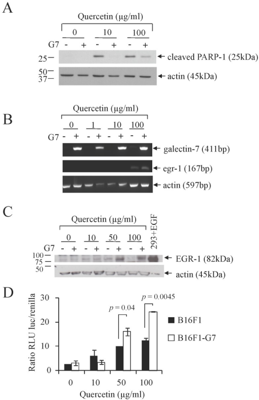 Effect of quercetin on B16F1 cells overexpressing galectin-7 on apoptosis and EGR-1 expression.B16F1 cells overexpressing galectin-7 (+) or controls (–) were treated with various doses of quercetin. A) Apoptotic sensitivity was analyzed by western blotting for cleaved PARP-1 detection. B) RT-PCR analysis of galectin-7 and EGR-1 mRNA expression. C) Western blot analysis for EGR-1 detection, 293 cells transfected with EGF were used as a positive control. Actin was used as a loading and specificity control. D) Dual luciferase assay of B16F1 transfectant cells overexpressing galectin-7 (□) or controls (▪) co-transfected with luciferase reporter plasmids with an EGR-1 promoter and pRLSV40-Renilla vector as a transfection control and treated with various doses of quercetin for 24 h. A mixture of three clones of B16F1-G7 was used (G7 #5, 10 and 14) for all of these experiments.