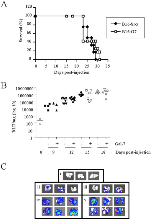 Effect of galectin-7 in B16F1 cells on survival and metastasis in lungs.A) Survival curve of C57BL/6 mice injected i.v. with B16F1 transfectant cells overexpressing galectin-7 (□) or controls (♦) (2×105 cells) (n = 8−10). B) Luciferase assay of lungs of C57BL/6 mice sacrificed at 9, 12, 15 or 18 days after the i.v. injection of a mixture of B16F1 luciferase transfectant cells overexpressing galectin-7 (+) or control (–) (n = 3−8). Normal lungs were used as a negative control (T: 0; n = 2). C) Ex vivo imaging of a lung metastasis, as seen in (B), of B16F1 cells overexpressing galectin-7 (iii and v) or control cells (ii and iv) at 9 and 18 days in comparison with control lungs (i).