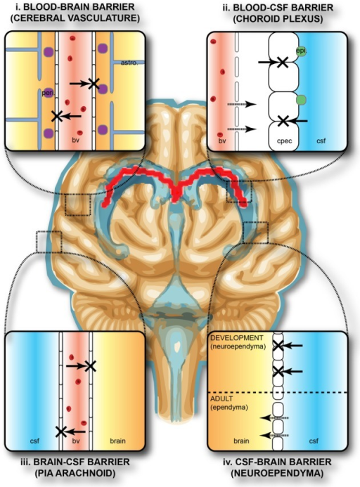 "Protective barriers of the brain. The collective term ""blood-brain barrier"" is used to describe four main interfaces between the central nervous system and the periphery. (i) The blood-brain barrier proper formed by tight junctions between the endothelial cells of the cerebral vasculature. It is thought that pericytes (peri.) are sufficient to induce some barrier characteristics in endothelial cells, while astrocytes (astro.) are able to maintain the integrity of the blood-brain barrier postnatally. (ii) The blood-CSF barrier formed by tight junctions between epithelial cells of the choroid plexus epithelial cells (note the plexus vasculature is fenestrated). Resident epiplexus (epi.) immune cells are present on the CSF-surface of the plexus epithelium. (iii) The outer CSF-brain barrier and the level of the pia arachnoid, formed by tight junctions between endothelial cells of the arachnoid vessels. (iv) The inner CSF-brain barrier, present only in early development, formed by strap junctions between the neuroependymal cells lining the ventricular surfaces. In the adult this barrier is no longer present. Both the blood-brain and CSF-brain barriers extend down the spinal cord. The CSF-filled ventricular system is depicted in blue, while CNS brain tissue is in brown. The lateral ventricular choroid plexuses are shown in red. Abbreviations: astro, astrocyte; bv, blood vessel; cpec, choroid plexus epithelial cell; csf, cerebrospinal fluid; peri, pericytes."