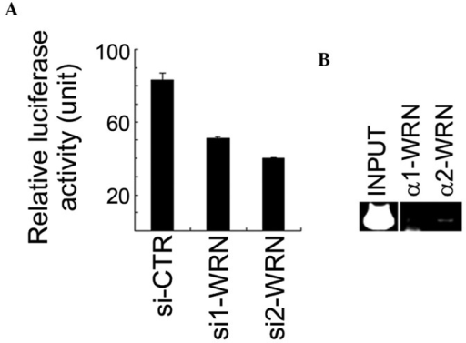 WRN positively regulates the XLF promoter activity in U2OS cells. (A) Inhibition of WRN expression decreased the XLF promoter activity. The putative XLF promoter containing a sequence from −596 to +169, relative to the transcription start site of XLF, was subcloned into the PGL3-basic luciferase vector, and the resulting reporter construct was transfected into WRN-depleted U2OS cells. Triplicate samples were analyzed. (B) WRN bound the XLF promoter region. ChIP assays were performed using two different anti-WRN antibodies. ChIP with α1-WRN antibody did not yield any PCR product, which also served as a negative control. The PCR product corresponds to the position from −360 to −90 of the promoter relative to the transcription start site. XLF, XRCC4-like factor; ChIP, chromatin immunoprecipitation; si-CTR, control siRNA.
