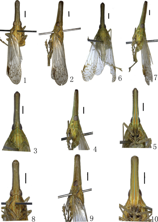 1–5 Habitus of Doryphorina conglobatus sp. n. 6–10Doryphorina guizhouensis sp. n. 1, 6 dorsal view 2, 7 lartral view 3, 8 dorsal view of head, pronotum and mesonotum 4, 9 lateral view of head and pronotum 5,10 ventral view of frons and clypeus. Scale bars: 1–10 = 1 mm.