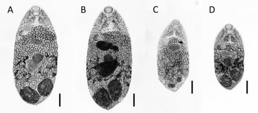 Adult flukes of Metagonimus hakubaensis recovered from experimentallyinfected (A) dog, (B) hamster, (C) mouse and (D) quail at 15 days post-infection.Bar=100 µm.
