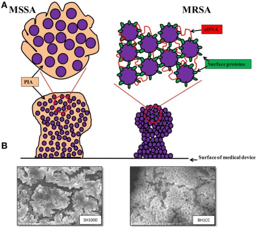 (A) Graphic representations of the biofilm phenotypes expressed by MSSA and MRSA. MSSA strains form ica-dependent, PIA-mediated biofilms whereas MRSA strains form biofilms independent of PIA and require surface proteins such as the fibronectin binding proteins, Atl-mediated cell lysis and eDNA for colonization of surfaces and biofilm accumulation. (B) Scanning electron micrographs (3500 × magnification) of biofilms formed by MSSA strain SH1000 grown in BHI media supplemented with 4% NaCl (left) and MRSA strain BH1CC grown in BHI supplemented with 1% glucose (right).