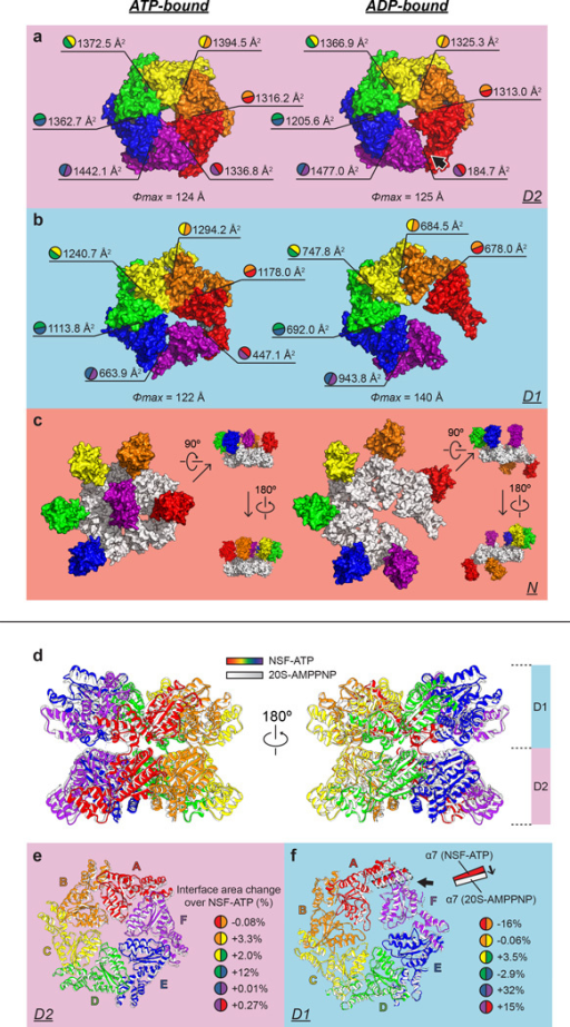 Comparison of ATP- and ADP-bound NSF structures (a–c), and ATPase domainsof ATP-bound NSF and 20S supercomplex (d–f)a–c, Surface representations of the D2, D1 and N domainsof ATP- and ADP-bound NSF (looking down from the N side of the NSF hexamer). The maximumdiameters of the D2 and D1 rings, and the interface areas (calculated by PISA66) between ATPase domains are indicated.Each protomer chain is colored as in Fig. 2. The D1ring is also shown in panel c and colored white to help with visualization.d–f, The ATPase domains of the structure of the 20S supercomplex(state I) were superposed on the ATP-bound NSF using the D1 ring as the reference forthe fit. Six protomer chains from ATP-bound NSF are rainbow colored counterclockwisefrom the top based on the relative positions of the D1 domains to the D2 ring. TheATPase domains of the 20S supercomplex are colored in white and grey. Note that thedensity of Chain F in the EM reconstruction of ATP-bound NSF alone is poorly resolved(Fig. 1b), whereas in the 20S reconstruction itis well defined, although the overall resolution of the 20S reconstruction is lower.d, Side views. e, Top view of the D2 rings. Each individualD2 domain is labeled. Percentages of interface area change (from NSF to 20S) between theD2 domains are provided in the figure. The interface areas between the D2 domains aresimilar in the NSF and 20S structures, except for a significant increase (12%)between Chains D and E for 20S compared to NSF alone. f, Top view of the D1rings. Each D1 domain is labeled, with the split between Chains A and F indicated by ablack arrow. The translation of the α7 helix in α subdomain of Chain Ais illustrated in the inset. Percentages of interface area change (from NSF to 20S)between the D1 domains are shown. Three stay the same; the one between Chains A and Bdecreases, whereas those between Chains E and F, and Chains F and A increasesignificantly.