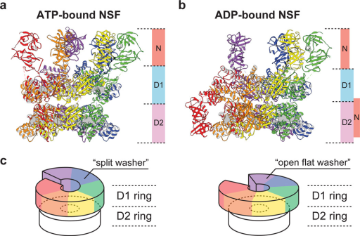 Structures of ATP- and ADP-bound NSFa, Side-view of ATP-bound NSF. b, Side-view ofADP-bound NSF. The six protomer chains are rainbow colored counterclockwise based on therelative positions of the D1 domains to the D2 ring in the ATP-bound NSF model; the chainwith the closest distance between D1 and D2 domains is named Chain A (red). Nucleotidesare shown as grey surfaces. See Methods for generation and refinement of the atomicmodels. c, A schematic diagram showing the topology of ATPase rings of ATP-and ADP-bound NSF, respectively. D1 rings are colored according to the models shown inpanel a and b.