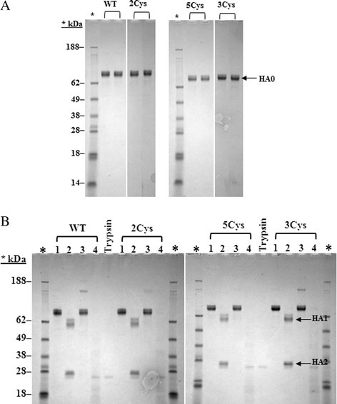 A and B SDS-PAGE purity and trypsin resistance gels for the H3 rHA proteins. A. Each rHA protein was loaded in duplicate to give 1 μg total protein per lane. The samples were separated using 4-12% gradient Nu-PAGE gels and stained with Coomassie Blue. Molecular weights of the proteins standards are shown. B. Shown are the reducing SDS-PAGE gels from the trypsin resistance assay. Each H3 rHA protein was analyzed neat (Lane 1), after trypsin treatment (Lane 2), after heat treatment (Lane 3), and after heat and trypsin treatment (Lane 4). The trypsin enzyme is loaded as a control and molecular weights of the protein standards are shown. HA1 and HA2 are indicated by arrows.