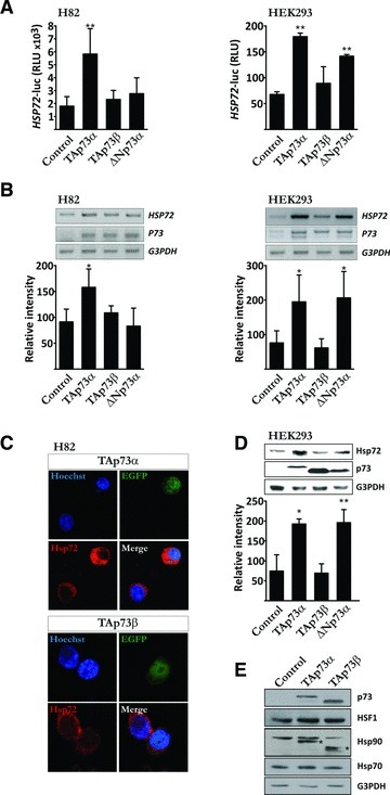 TAp73α induces Hsp72 expression. (A) H82 and HEK-293 cells were co-transfected with a HSP72 promoter-luciferase vector, a β-galactosidase reporter vector and empty vector or p73 expression vectors (TAp73α, TAp73β, ΔNp73α), as indicated. Cells were harvested after 24 hrs, and cell extracts assayed for luciferase and β-galactosidase activity. Relative luciferase units were compared after normalization to β-galactosidase activities. H82 (B) and HEK-293 (B, D) were transfected with expression vectors encoding TAp73α, TAp73β, ΔNp73α. (B) Total RNA was extracted from cells, followed by cDNA synthesis and PCR amplification of the indicated genes. Quantification of DNA band-intensity was made using ImageJ software. (C) H82 cells were co-transfected with EGFP and p73 expression vectors (TAp73α, TAp73β) (green). Samples were stained with anti-Hsp72 antibody (red) and nuclei counterstained with Hoechst (blue). Images are representatives of three independent experiments. (D) Total protein cell extracts were analysed by immunoblotting for the presence of Hsp72 and p73. G3PDH was used as protein loading control. (E) Total protein cell extracts were analysed by immunoblotting for the expression of p73, HSF1, Hsc70 and Hsp90 (bands marked * is due to previous staining with antibody against p73 and hence depict TAp73 protein). Data are represented as mean ± S.D. of at least three independent experiments, where *P < 0.05 and **P < 0.01.