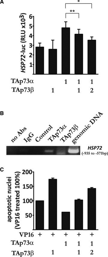 The Hsp72-mediated anti-apoptotic effect of TAp73α can be counteracted by TAp73β. (A) H82 cells were transfected and assayed as described in Figure 1A. (B) H82 cells were transfected with TAp73α, TAp73β, ΔNp73α, TAp73α and TAp73β, or empty vector. Samples were immunoprecipitated using p73 antibody, and binding to the HSP72 promoter was detected with PCR. (C) H82 cells were transfected, treated and assayed by scoring of EGFP transfected cells presenting condensed or fragmented nuclei (as described in Fig. 2D). Figures are mean ± S.D. of three independent experiments, where *P < 0.05, **P < 0.01 and ***P < 0.001.