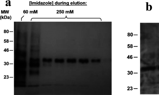 Purification of SMALP-solubilized His-tagged A2AR from P. pastoris(a) The A2AR eluted from the Ni2+–NTA linked agarose as a single band in silver-stained fractions with 250 mM imidazole. (b) Western blot of the 250 mM imidazole fraction with an anti-histidine antibody.