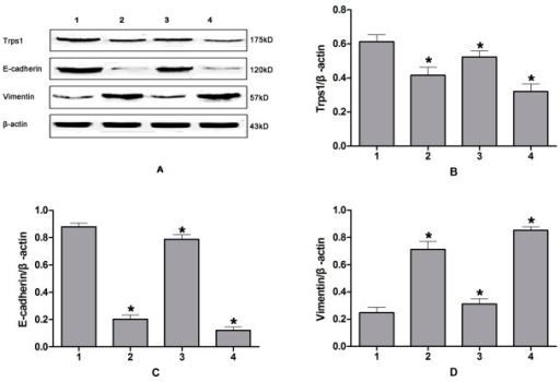 Western blotting analysis of Trps1 expression changes during CPRI-mediated EMT in HIBECs.A: Western blotting results; B–D: semi-quantitative Trps1, E-cadherin, and Vimentin protein results, respectively. Lane 1: HIBECs; 2: HIBECs subjected to CPRI; 3: HIBECs infected with a Trps1 adenoviurs and subjected to CPRI; 4: HIBECs transfected with a Trps1-specific siRNA, and subjected to CPRI.