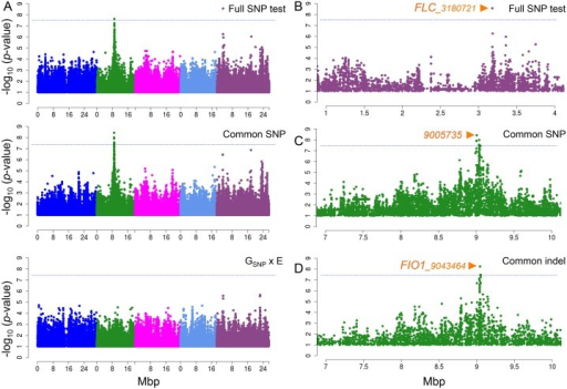 Manhattan plots of GWAS results for flowering time at 10°C and 16°C using MTMM.A. From top to bottom, results for full SNP, common SNP effect, and GSNP x E effect tests. B. Zoom-in on chromosome 5 peak from full SNP test. C. Zoom-in on chromosome 2 peak from common effect by SNP markers, and D. by indel markers. Orange arrows show position of the strongest association in the peak. Horizontal dashed lines show 5% genome-wide significance thresholds after Bonferroni-correction.