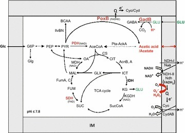 Schematic illustration of the relationship between pyruvate metabolism and the aerobic respiratory chain. AceCoA acetyl CoA, BCAA branched-chain amino acids, CIT citrate, CS citrate synthase (GltA), FAD flavin adenine dinucleotide, FUM fumarate, GABA γ-aminobutyrate, Glc glucose, Glg glycogen, GLX glyoxylate, GLU glutamate, G6P glucose 6-phosphate, ICT isocitrate, IDH isocitrate dehydrogenase (Icd), IM inner membrane, KG α-ketoglutarate, KGDH α-ketoglutarate dehydrogenase, MAL malate, MDH malate dehydrogenase, NDH NADH dehydrogenase, OA oxaloacetate, PDH pyruvate dehydrogenase, pHi internal pH, PEP phosphoenolpyruvate, PYR pyruvate, Q ubiquinone, SDH succinate dehydrogenase, SUC succinate, SucCoA succinyl CoA; TCA, tricarboxylic acid