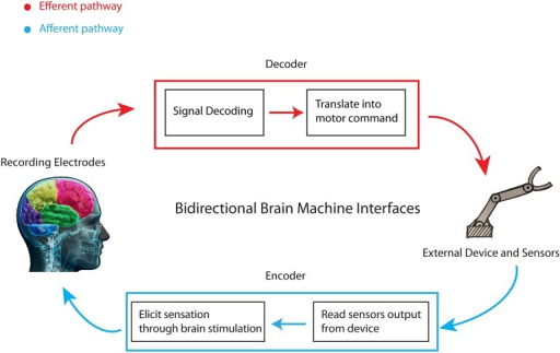 Schematic of a bidirectional brain-machine interface. A bidirectional BMI has two pathways of communication with the brain: an afferent pathway from some sensors to the brain and an efferent pathway from the brain to a device controlled by it. The decoder—or motor interface—transforms the recorded activity into motor commands for the device. The encoder—or sensory interface—transmits the information about the external world or about the state of the device to the brain by delivering electrical stimulation patterns to it.