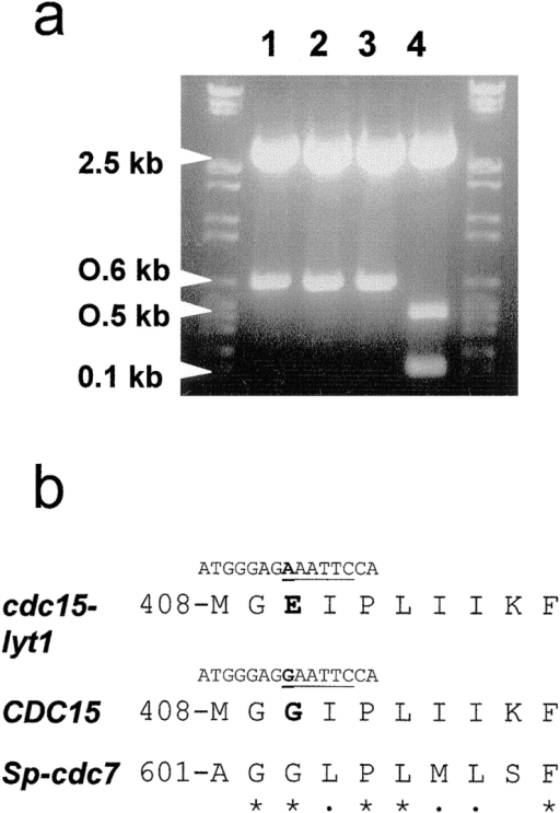 (a) EcoRI restriction analysis of PCR products from an  inner fragment of the cdc15-lyt1 allele (lanes 1, 2, and 3 represent  three different amplificates) and the CDC15 gene (lane 4), showing the disappearance of an EcoRI cleavage site in the mutant allele. (b) Sequence comparison of the CDC15-encoded peptide in  the area where the lyt1 mutation maps from the mutant, the wild-type, and the putative homologue in the fission yeast S. pombe  (Sp), cdc7. Underline, EcoRI site in the corresponding DNA sequence; boldface; residues affected by the mutation; asterisks,  conserved residues; dots, structurally similar residues in the S.  cerevisiae and S. pombe sequences.