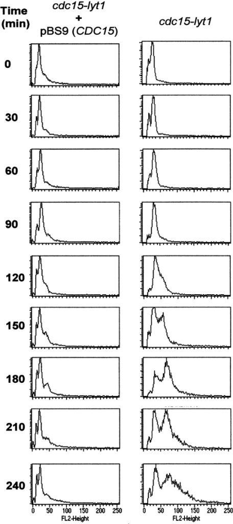 Flow cytometry graphics of RNase-treated propidium  iodide-stained cells of the L2C24d strain. Cells were incubated at  37°C in osmotically stabilized media and samples were taken every 30 min. Peaks correspond to cell populations containing different amounts of DNA. The peak corresponding to a DNA content  of 1 nucleus per cell (G1 peak) appears at ∼15 fluorescence units  (see scale at the bottom), the G2/M peak (2 nuclei per unit) stands  at ∼30 units, and cells displaying a DNA content equivalent to 4  nuclei appear at 60 U. Upon expression of the cdc15 phenotype  (right), the G1 peak progressively disappears due to the accumulation of cells in anaphase. After 150 min, a new well-defined peak  reveals a new population of cells with a larger amount of DNA.  None of these phenomena occurred when the same strain was  transformed with a CDC15-containing plasmid (left).