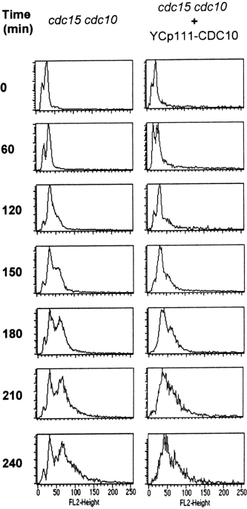 Flow cytometry plots of RNase-treated propidium iodide-stained cells of the VCY242d strain both untransformed  (left) and transformed with a CDC10-bearing plasmid (right).  Cells were incubated at 37°C in osmotically stabilized media.  Samples were taken at the times indicated. Peaks that appear at  15, 30, and 60 arbitrary fluorescence units (see the scale at the  bottom) correspond respectively to cells with DNA contents  equivalent to 1, 2, and 4 nuclei. Comparison of the two series reveals an earlier (∼30 min) and larger amount of cells included in  the third peak when both cdc10 and cdc15 mutations are coexpressed than when the cdc15 mutation is expressed alone.