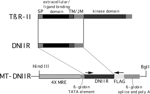 Map of the MT-DNIIR expression plasmid. The  EcoRI/XbaI fragment of the human TGF-β type II receptor from  the plasmid p102 containing a FLAG epitope tag and the signal  sequence (SP), ligand binding, transmembrane (TM), and juxtamembrane (JM) domains of the receptor was inserted into the  BamHI site of the MT-β metallothionein expression vector by  blunt end ligation. The MT-β vector contains four metal responsive elements and the β globin TATA element, splice sites, and  polyadenylation signal (69). The HindIII/BglI fragment was injected into single cell embryos. Arrows mark the location of  primer sequences used for PCR and RT-PCR analysis.