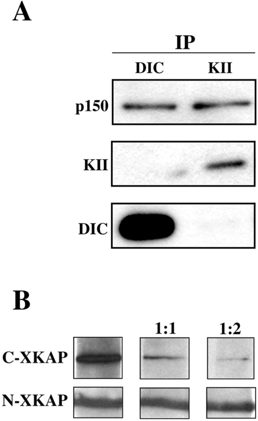 Kinesin II and dynein compete for binding to dynactin. (A) Polyclonal antibodies against DIC and the 95-kD subunit of kinesin II are each able to pull down p150 from melanophore extracts, but they do not pull down each other. Antibodies used for immunoprep are shown at the top. Antibodies used to probe the blot are indicated on the sides. (B) The ability of p150 to bind to purified DIC via blot overlay diminishes in the presence of increasing amounts of C-XKAP but not N-XKAP. Purified DIC was overlayed with myc- p150Glued 600–811 alone or in the presence of a 1:1 or 1:2 molar ratio of C-XKAP or N-XKAP. Blots were probed with an anti-myc antibody.