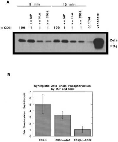 Costimulation with anti-IAP and not anti-CD28 results in  enhanced ζ chain and Zap70 tyrosine phosphorylation. (A and C) Jurkat  cells (106cells, A; 5 × 106 cells, C) were stimulated for the indicated timepoints with either an optimal high concentration of anti-CD3 (100) or a  low concentration of anti-CD3 (1) coimmobilized with anti-IAP, antiHLA, or anti-CD28. Cell lysates were immunoprecipitated with anti-ζ  chain (A) or anti-Zap70 (C) polyclonal Abs and analyzed by SDS-PAGE  followed by Western blotting with antiphosphotyrosine. (B and D) ζ  chain and Zap70 tyrosine phosphorylation expressed as fold increase over  control noncostimulatory conditions (low anti-CD3 plus anti-HLA). Bars  represent the mean and SEM of three independent experiments at either  5 min (B) or 15 min (D). Phosphorylation of both ζ chain and Zap70 was  increased by cell adhesion to the costimulatory combination of anti-CD3  and anti-IAP compared to control and compared with adhesion to antiCD3 and anti-CD28 (P <0.05 in all cases). In contrast, adhesion to the  costimulatory combination of anti-CD3 and anti-CD28 did not stimulate  ζ chain or Zap70 phosphorylation compared with control.