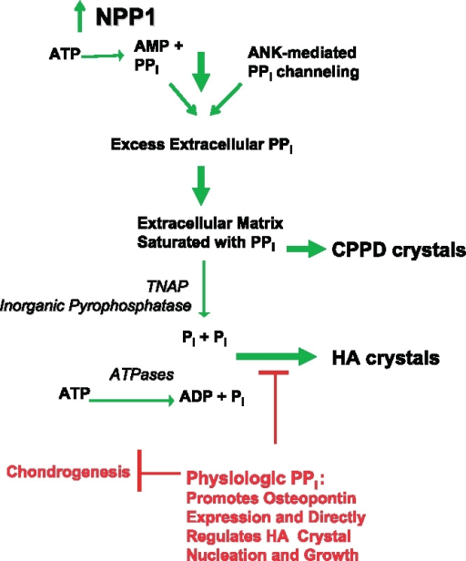 Proposed NPP1-mediated and PPi-dependent mechanisms stimulating CPPD and HA crystal deposition in aging and osteoarthritis (OA): Roles of ATP and PPi Metabolism and inorganic phosphate (Pi) generation in pathologic cartilage calcification. This model presents mechanisms underlying the common association of extracellular PPi excess with both CPPD and HA crystal deposition in OA and chondrocalcinosis cartilages, as well as the paradoxical association of extracellular PPi deficiency (from defective ANK or PC-1/NPP1 expression) with pathologic calcification of articular cartilage with HA crystals in vivo. Factors driving pathologic calcification are indicated in green and physiologic factors suppressing calcification in red. Excess PPi generation in aging cartilages in idiopathic CPPD deposition disease of aging, and in OA cartilages, is mediated in part by marked increases in NTPPPH activity, mediated in large part by the PC-1/NPP1 isoenzyme. In idiopathic chondrocalcinosis of aging and in OA, there are substantial increases in joint fluid PPi derived largely from cartilage. NPP1 not only directly induces elevated PPi but also matrix calcification by chondrocytes in vitro. Depending on extracellular availability of substrate PPi and the activity of pyrophosphatases, the availability of substrate ATP and the activity of ATPases, and other factors such as substantial local Mg++ concentrations, HA crystal deposition, as opposed to CPPD deposition, may be stimulated. In this model, excess extracellular PPi also may result from heightened release of intracellular PPi via increased ANK expression in OA and abnormal ANK function in familial chondrocalcinosis, as well as from deficient activity of pyrophosphatases (such as TNAP and possibly inorganic pyrophosphatase) in certain primary metabolic disorders. Also illustrated at the top of this schematic is the role in cartilage calcification in OA and aging of altered TGFβ expression and responsiveness, which drives PPi generation and release mediated via NPP1 and ANK, and diminished responsiveness to IGF-I, which normally suppresses elevation of chondrocyte extracellular PPi.