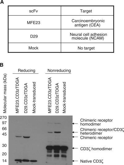 Expression of chimeric receptor proteins in primary human T lymphocytes derived from patients with advanced colorectal cancer. (A) The specificity of the scFv used in these studies. (B) Chimeric receptor transduced and mock patient T lymphocytes, at time of cytotoxicity assays, were lysed with RIPA and subjected to reducing or nonreducing SDS–PAGE and transferred to nitrocellulose filters. Blots were probed with anti-CD3ζ Mab (1 : 1000 dilution, Pharmingen, Oxford, UK) with a secondary antibody of anti-mouse Fc-HRP conjugate (1 : 2000) and immunoreactive bands visualised using ECL™ (Amersham, UK). Under reducing conditions, the endogenous CD3ζ protein was identified as a 16 kDa band in all samples with the chimeric receptors clearly identified as single immunoreactive bands at the predicted molecular mass of 43 kDa. Chimeric homodimers (86 kDa) and heterodimers (60 kDa) formed with the endogenous CD3ζ were identified along with CD3ζ homodimers (32 kDa) under nonreducing conditions.