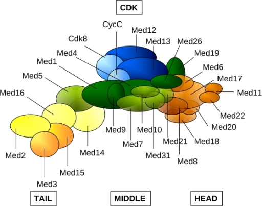 Schematic representation of the Mediator complex: Head (orange), Middle (green), Tail (yellow), CDK (blue).Subunits with higher than 50% average overall disorder (Med2, Med3 in Tail; Med9, Med19, Med26 in Middle and Med8 in Head) or subunits containing intrinsically disordered regions longer than 100 residues (Med12, Med13 of the CDK, Med1, Med9, Med26 of the Middle and Med15 of the Tail) in either Saccharomyces cerevisiae or in Homo sapiens are displayed by darker colors. Med19 and Med26 was assigned to the Middle module according to reference [80].