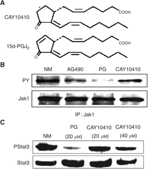 15d-PGJ2-mediated inhibition of JAK/Stat3 signalling requires the reactive cyclopentenone ring system. (A) Structure of 9,10-dihydro-15-Deoxy-Δ12,14-PGJ2 (CAY10410) and 15d-PGJ2. (B) 15d-PGJ2, but not CAY10410, abrogates constitutive JAK phosphorylation in oral SCC cells. Oral SCC9 cells were treated with NM, AG490 (50 μM), 15d-PGJ2 (20 μM) or CAY10410 (40 μM) for 10 min. Cell lysates were immunoprecipitated with Jak1 antibody and Western blotted for phosphorylated (PY) and total Jak1. (C) Effect of CAY10410 on Stat3 phosphorylation. Oral SCC9 cells were treated with NM, 15d-PGJ2 (20 μM) or CAY10410 (20 and 40 μM) for 45 min. Cells were blotted with phospho-Stat3 antibody (Y705) and subsequently stripped and reprobed with Stat3 antibody.